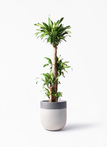観葉植物 ドラセナ 幸福の木 10号 ノーマル バルゴ ツートーン  サンディホワイト 付き