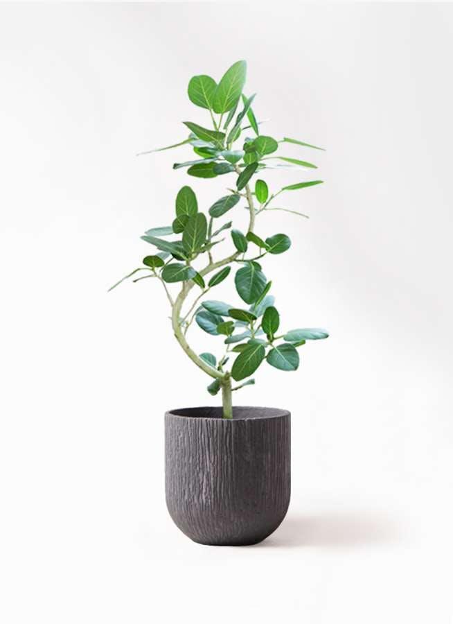 観葉植物 フィカス ベンガレンシス 8号 曲り カルディナダークグレイ 付き