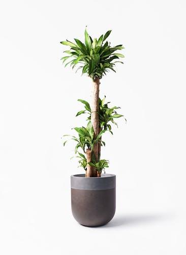 観葉植物 ドラセナ 幸福の木 10号 ノーマル バルゴ ツートーン マットブラウン 付き