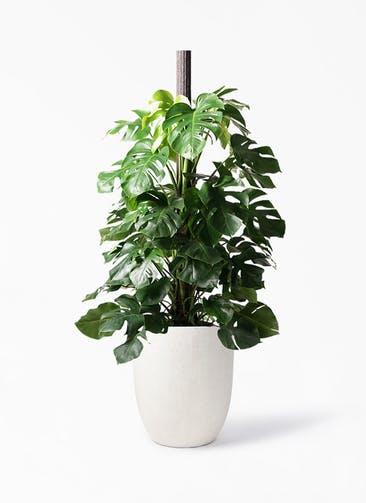 観葉植物 モンステラ 10号 ヘゴ柱 フォリオアルトエッグ クリーム 付き