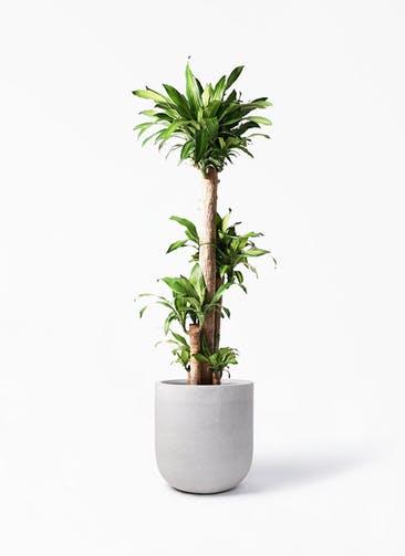 観葉植物 ドラセナ 幸福の木 10号 ノーマル バルゴ モノ ライトグレー 付き