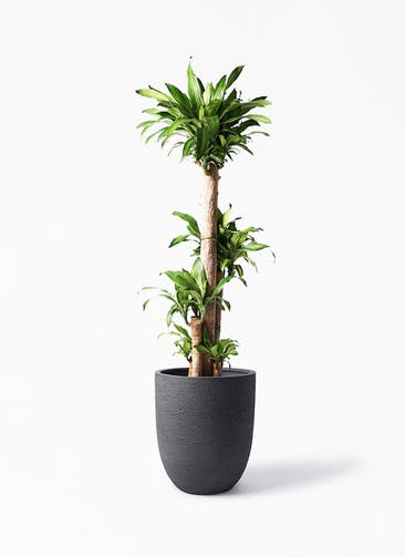 観葉植物 ドラセナ 幸福の木 10号 ノーマル ビアスアルトエッグ ブラック 付き