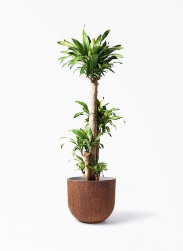 観葉植物 ドラセナ 幸福の木 10号 ノーマル バル ユーポット ラスティ  付き
