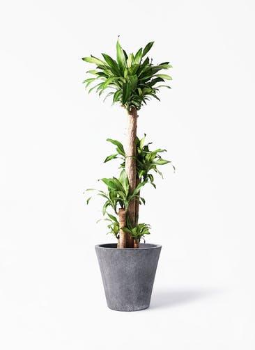 観葉植物 ドラセナ 幸福の木 10号 ノーマル フォリオソリッド ブラックウォッシュ 付き