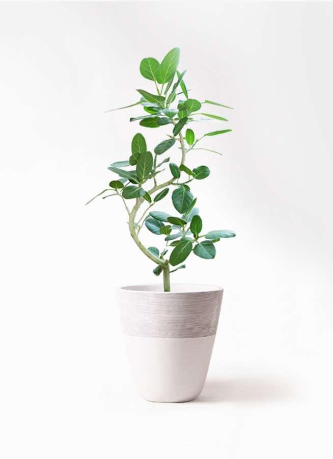 観葉植物 フィカス ベンガレンシス 8号 曲り ジュピター 白 付き