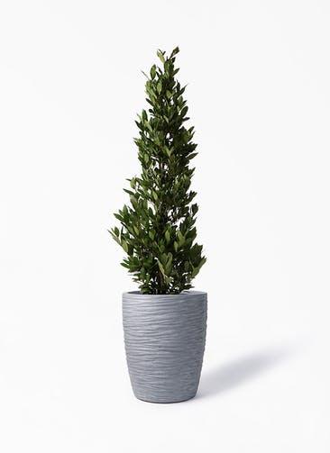 観葉植物 月桂樹 10号 サン ミドル リッジ 灰 付き