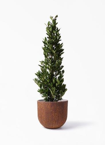 観葉植物 月桂樹 10号 バル ユーポット ラスティ  付き
