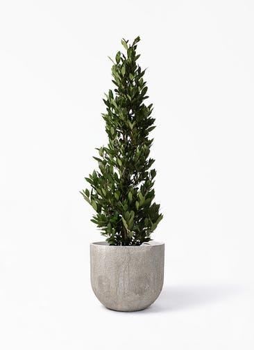 観葉植物 月桂樹 10号 バル ユーポット アンティークセメント 付き
