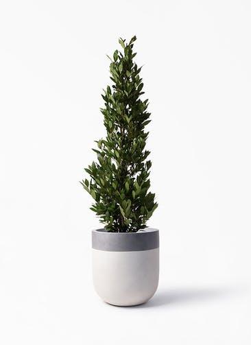 観葉植物 月桂樹 10号 バルゴ ツートーン  サンディホワイト 付き