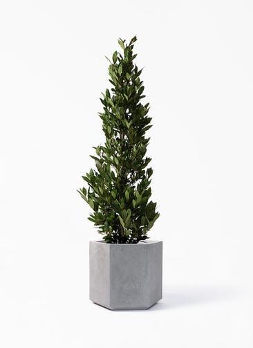 観葉植物 月桂樹 10号 コーテス ヘックス 灰 付き