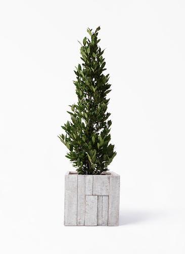 観葉植物 月桂樹 10号 パターン キューブ 付き