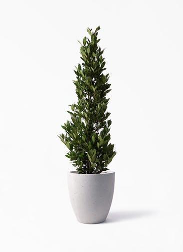 観葉植物 月桂樹 10号 コーテス ラウンド ベージュ 付き