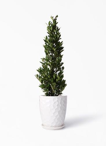 観葉植物 月桂樹 10号 サンタクルストール 白 付き