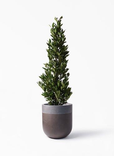 観葉植物 月桂樹 10号 バルゴ ツートーン マットブラウン 付き