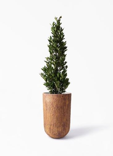 観葉植物 月桂樹 10号 バル トール ラスティ 付き