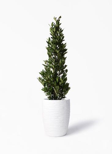 観葉植物 月桂樹 10号 サン ミドル リッジ 白 付き
