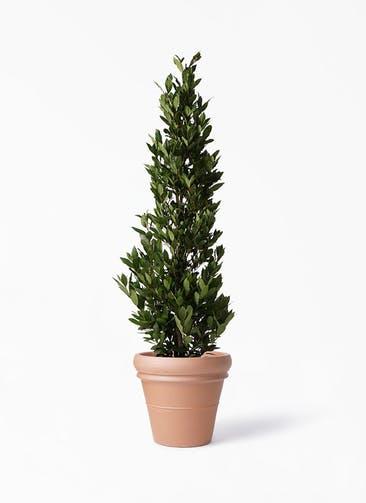 観葉植物 月桂樹 10号 トスカーナ リムポット 付き
