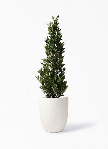 観葉植物 月桂樹 10号 フォリオアルトエッグ クリーム 付き
