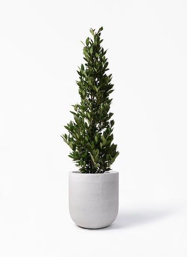 観葉植物 月桂樹 10号 バルゴ モノ ライトグレー 付き