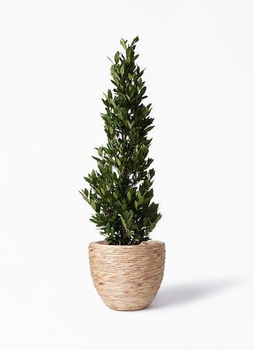 観葉植物 月桂樹 10号 マラッカ ウォーターヒヤシンス 付き