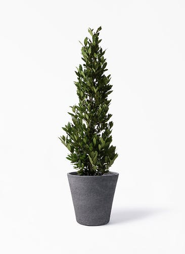 観葉植物 月桂樹 10号 ビアスソリッド ブラック 付き