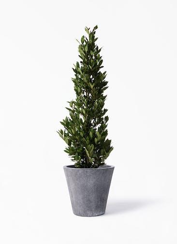 観葉植物 月桂樹 10号 フォリオソリッド ブラックウォッシュ 付き