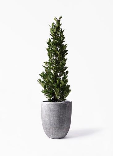 観葉植物 月桂樹 10号 フォリオアルトエッグ ブラックウォッシュ 付き