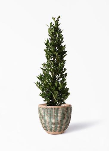 観葉植物 月桂樹 10号 マラッカ ダイドグリーン 付き