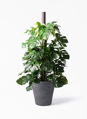 観葉植物 モンステラ 10号 ヘゴ柱 ビアスソリッド ブラック 付き