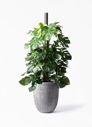 観葉植物 モンステラ 10号 ヘゴ柱 フォリオアルトエッグ ブラックウォッシュ 付き