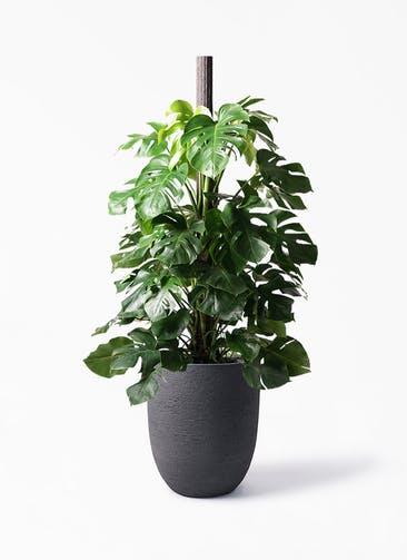 観葉植物 モンステラ 10号 ヘゴ柱 ビアスアルトエッグ ブラック 付き