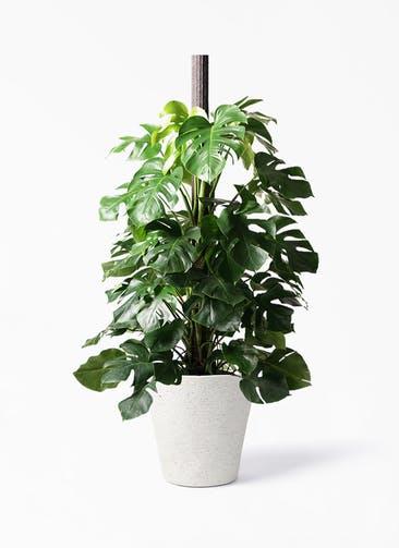 観葉植物 モンステラ 10号 ヘゴ柱 ビアスソリッド アイボリー 付き
