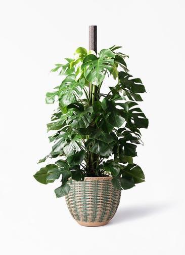観葉植物 モンステラ 10号 ヘゴ柱 マラッカ ダイドグリーン 付き