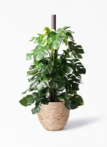 観葉植物 モンステラ 10号 ヘゴ柱 マラッカ ウォーターヒヤシンス 付き
