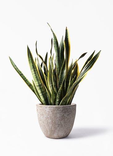 観葉植物 サンスベリア 10号 トラノオ アビスソニア ラウンド 付き