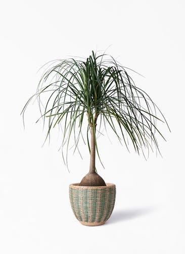観葉植物 トックリヤシ 10号 マラッカ ダイドグリーン 付き