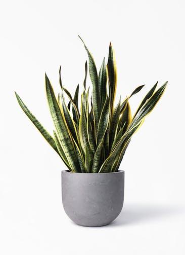 観葉植物 サンスベリア 10号 トラノオ コンカー ラウンド 付き