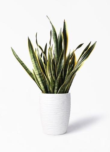 観葉植物 サンスベリア 10号 トラノオ サン ミドル リッジ 白 付き