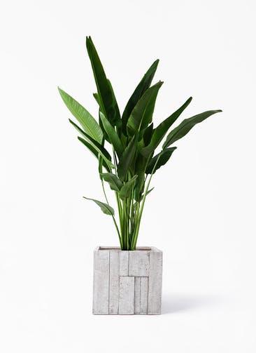 観葉植物 旅人の木 10号 パターン キューブ 付き