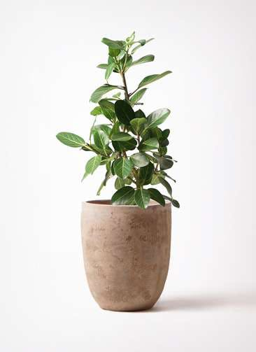 観葉植物 フィカス ベンガレンシス 7号 ストレート ルーガ アンティコ アルトエッグ 付き