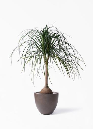 観葉植物 トックリヤシ 10号 エルム ラウンド ブラウン 付き