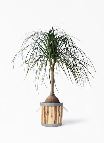 観葉植物 トックリヤシ 10号 ウッドプランター シリンダー  付き