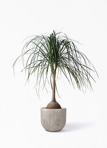 観葉植物 トックリヤシ 10号 バル ユーポット アンティークセメント 付き