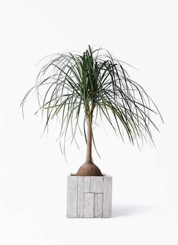 観葉植物 トックリヤシ 10号 パターン キューブ 付き