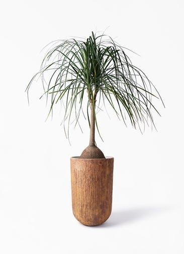 観葉植物 トックリヤシ 10号 バル トール ラスティ 付き
