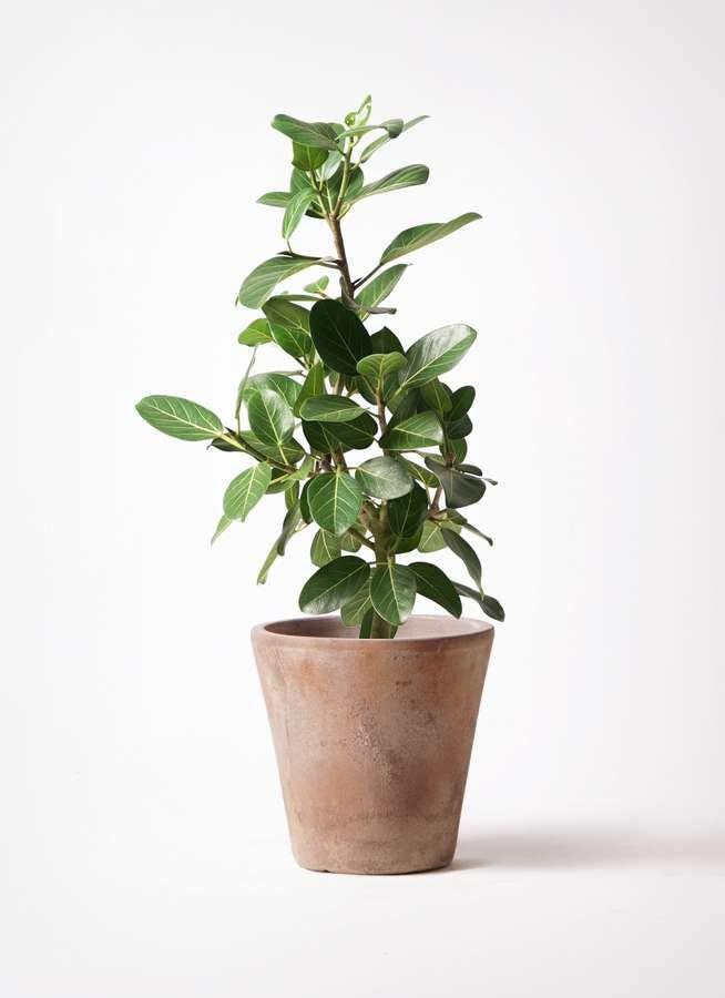 観葉植物 フィカス ベンガレンシス 7号 ストレート ルーガ アンティコ ソリッド 付き