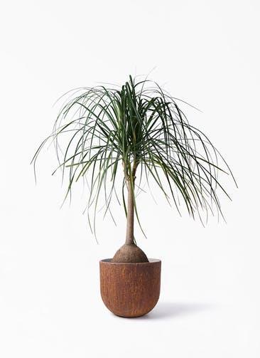 観葉植物 トックリヤシ 10号 バル ユーポット ラスティ  付き