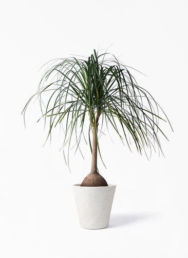 観葉植物 トックリヤシ 10号 ビアスソリッド アイボリー 付き