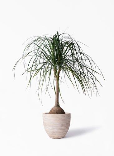 観葉植物 トックリヤシ 10号 マラッカ クリームウォッシュ 付き