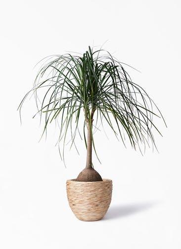 観葉植物 トックリヤシ 10号 マラッカ ウォーターヒヤシンス 付き